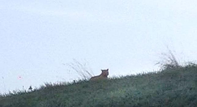 Tigre en las proximidades de Disneyland Paris. Foto: Facebook Montévrain