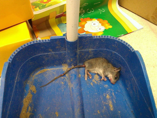 Uno de los roedores hallados en el centro escolar. / El Correo