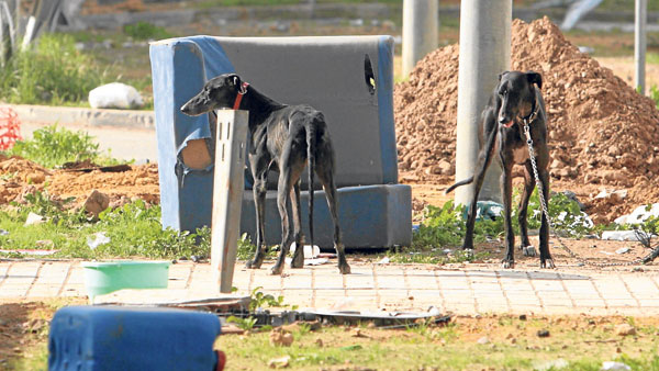 Fotografía de archivo de una pareja de galgos abandonados en el Distrito Sur de Sevilla. / Javier Díaz