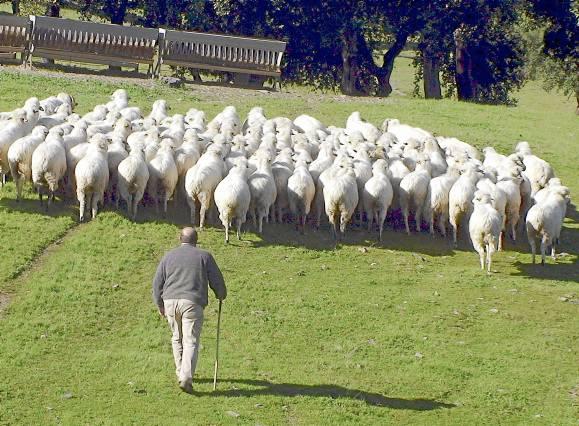 Entre las explotaciones ganaderas con mayor bajada en la última década se encuentran las de ovino. En la imagen, Cazalla de la Sierra. / EFE