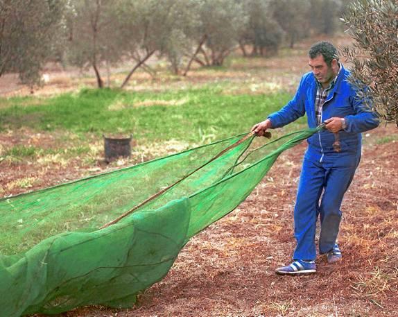 El olivar es el cultivo andaluz que, por su extensión y número de agricultores, más presupuesto agrario recibe./ EL CORREO