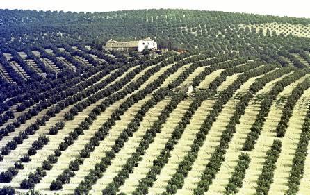 El olivar será el cultivo más beneficiado de los riegos extraordinarios aprobados. / JOSÉ PEDROSA (EFE)