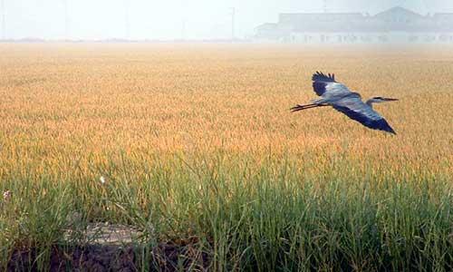 Una garza sobrevuela un campo de arroz en la localidad sevillana de Isla Mayor. / El Correo