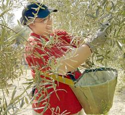 Una jornalera en la recolección de la aceituna. / Ana Quesada